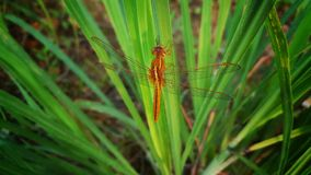 The Orange Dragonfly is Resting on the Leaf. The orange dragonfly in nature stock image