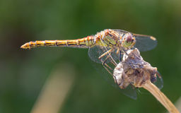 Free Orange Dragonfly Resting On Grass Stock Photography - 33185552