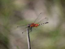 Orange Dragonfly. Dragonfly resting on stem in Zambia Royalty Free Stock Image