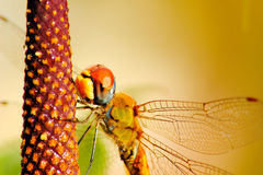 Orange Dragonfly royalty free stock image