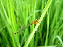 An orange dragonfly in a rice field. Stock Photo