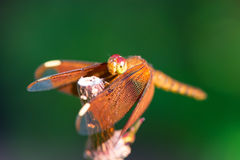 Orange dragonfly sitting on a branch Royalty Free Stock Photo