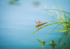 Orange dragonfly. Staying on the green leaf over the lake Stock Image