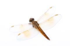 Orange dragonfly Royalty Free Stock Image