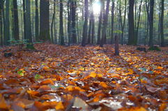 Orange Dry Leaves on the Ground Inside Forest Under Clear Sky Stock Photos