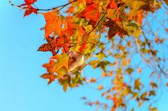 Orange dry maple leaves and blue sky background Stock Photos