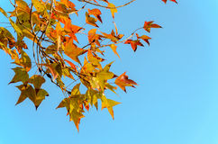 Orange dry maple leaves and blue sky background Royalty Free Stock Photos
