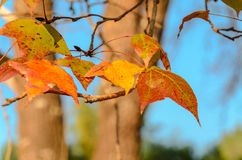Orange dry maple leaves and blue sky background Royalty Free Stock Photography