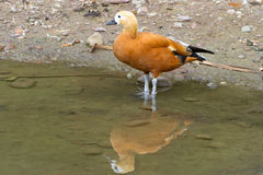 An orange duck standing at the pond Stock Photos