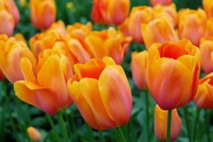 Orange dutch tulips Stock Photo