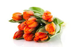 Orange Dutch tulips Stock Photos