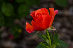 Orange Easy Does It Rose Flower Bud Royalty Free Stock Image