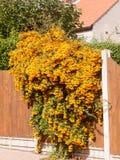 Orange Ebereschenbeerenbaum, der über Vorgartenzaun hängt lizenzfreie stockfotografie