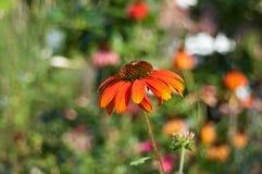 Orange echinacea Stock Photo