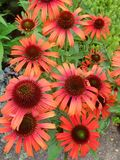 Orange Echinacea cone flowers Stock Photography