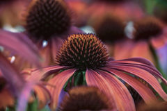 Orange  Echinacea. Orange decorative  Echinacea is depicted close-up on a blurred background of the same flowers Royalty Free Stock Photography
