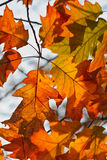 Orange Eichen-Herbstlaubhintergrund Lizenzfreie Stockbilder