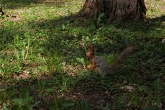 Orange Eichhörnchen stockbilder