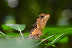 Orange Eidechse - Calotes Emma - Thailand-Reptilien Stockfotos