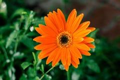 Orange einzelne Gänseblümchenblumennahaufnahme, natürlicher Hintergrund Lizenzfreie Stockfotografie