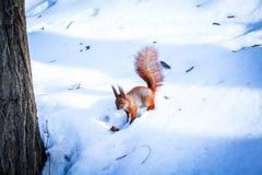 Orange ekorre i en snöig skog fotografering för bildbyråer
