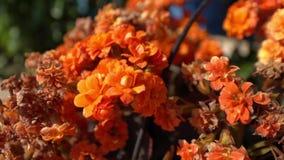 Orange elegans and blur color flower background. Orange flower in summer. Summer time stock video