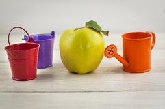 Orange empty metal watering can and two bucket red and violet color near whole fresh ripe quince on old weathered brown woo. Orange empty metal watering can and royalty free stock images