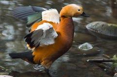 Orange Ente Stockbild