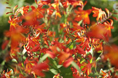 Orange Epidendrum orchid Royalty Free Stock Photo