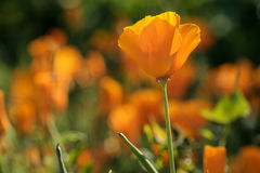 Orange escholzia. Escholzia orange compared to other colors on the field Royalty Free Stock Photo