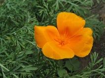Orange eschscholzia (California poppy) stock photography