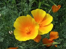 Orange eschscholzia (California poppy) Stock Photos