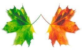 Orange et érable-feuilles jaunies par vert Photos stock