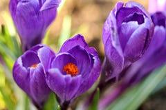 Orange et Violet Blooms fleurissantes de crocus Image stock