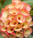 Orange Euphorbia Milii flower Royalty Free Stock Photo