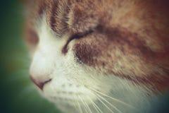 Orange European cat macro close up soft and cream Royalty Free Stock Images