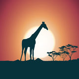 Orange evening savanna scenery with giraffe Royalty Free Stock Images