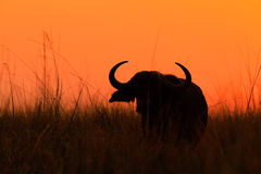 Orange evening sunset scene with buffalo from Africa. African Buffalo, Cyncerus cafer, standing on the river bank, big animal in t. He grass Stock Photo