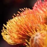 Orange exotics flower. Big orange exotics flower for decorate, Protea stock photography