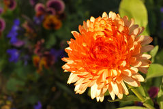 An Orange Explosion. (Flower) Against a Colorful, Blurry Background of Various Colors Royalty Free Stock Image