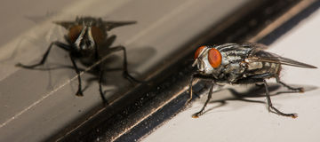 Orange Eyed House Fly With Glass Reflection Royalty Free Stock Photo