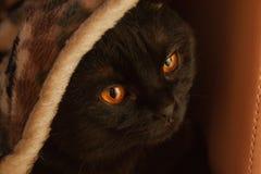 Orange-eyed scottish-fold cat close up stock photo