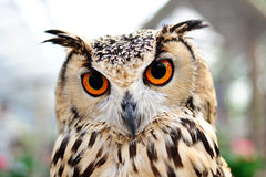 Orange Eyes Owl stock photography