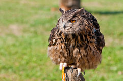 Orange Eyes Owl Royalty Free Stock Images