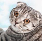 Orange eyes Scottish Fold cat, portrait Stock Photo