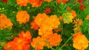 Orange färg som blommar blommor Royaltyfri Foto