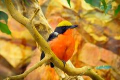 Orange fågel royaltyfria bilder