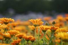 orange för 2 äng Arkivbild