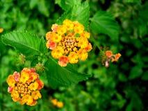 orange för 2 blomma Arkivfoto