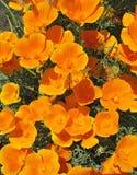 orange för backgroungeschscholziablomma Arkivbilder